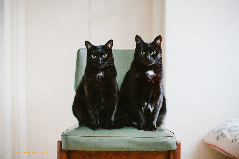 twoguineapigs_pet_photography_black_cats_retro_olive_chair_series_1500-3.jpg