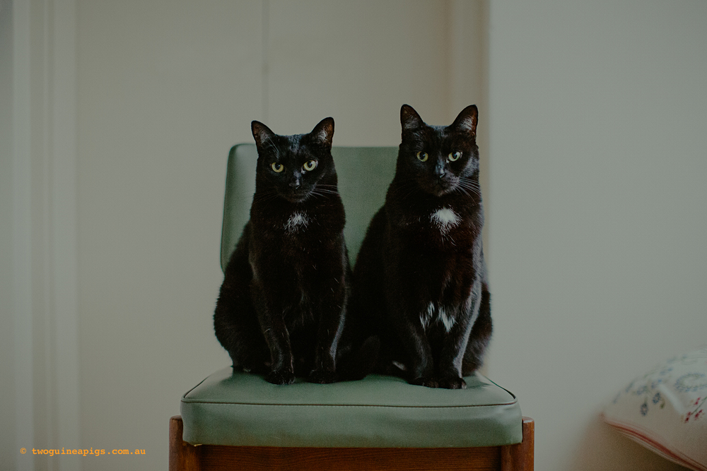 twoguineapigs_pet_photography_black_cats_retro_olive_chair_series_1500-4.jpg