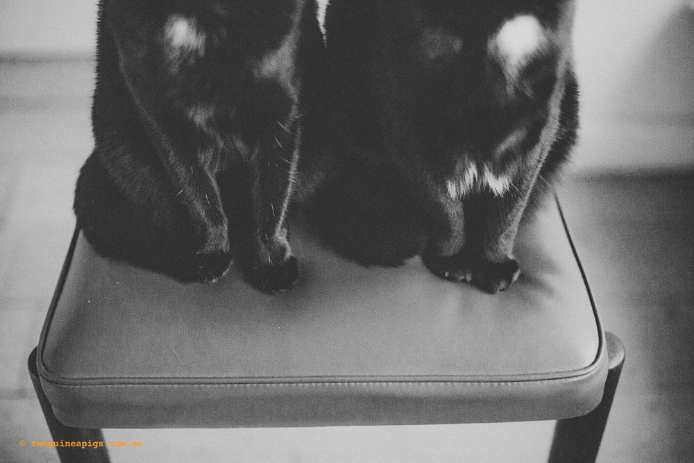 twoguineapigs_pet_photography_black_cats_retro_olive_chair_series_1500-5.jpg