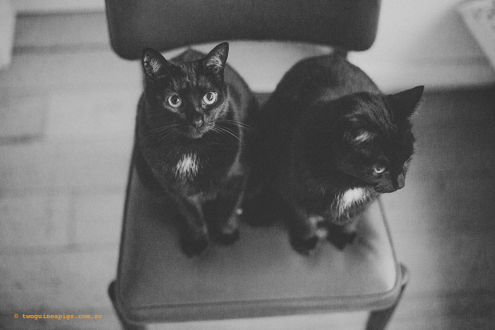 twoguineapigs_pet_photography_black_cats_retro_olive_chair_series_1500-6.jpg