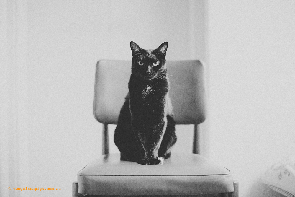 twoguineapigs_pet_photography_black_cats_retro_olive_chair_series_1500.jpg
