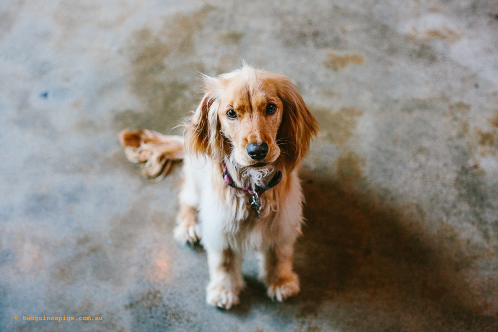 twoguineapigs_pet_photography_bonnie_happy_paws_fitness_doggie_day_care_1500.jpg