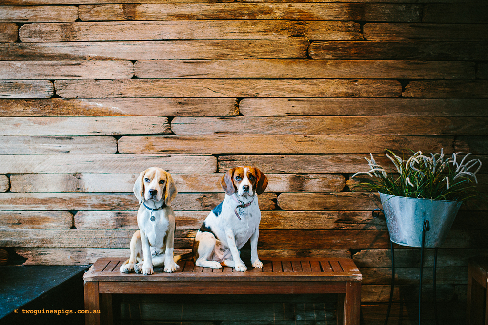 twoguineapigs_pet_photography_beagle_happy_paws_fitness_doggie_day_care_1500.jpg