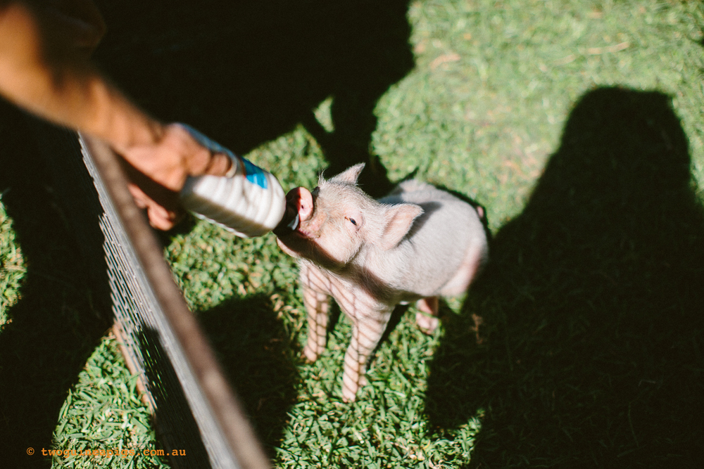 twoguineapigs_pet_photography_kxfestival_ppvh_20141012_1500-23.jpg