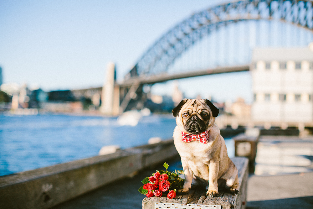 twoguineapigs_pet_photography_oh_jaffa_pug_wearing_dog_bow_tie_collar_polka_dots_sydney_harbour_bridge_wedding_roses