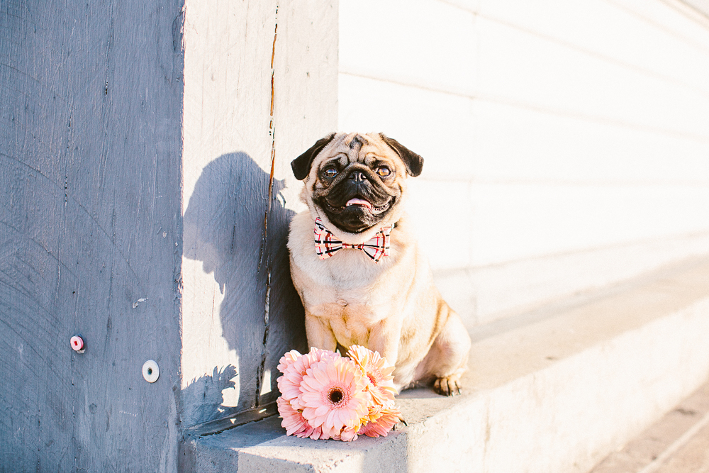 twoguineapigs_pet_photography_oh_jaffa_pug_wearing_bow_tie_collars_plaids_design_pink_daisies_weddings