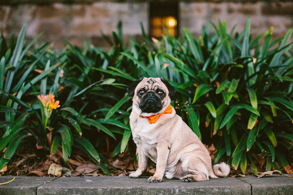 twoguineapigs_pet_photography_oh_jaffa_pug_wearing_bow_tie_collars_orange_design_weddings