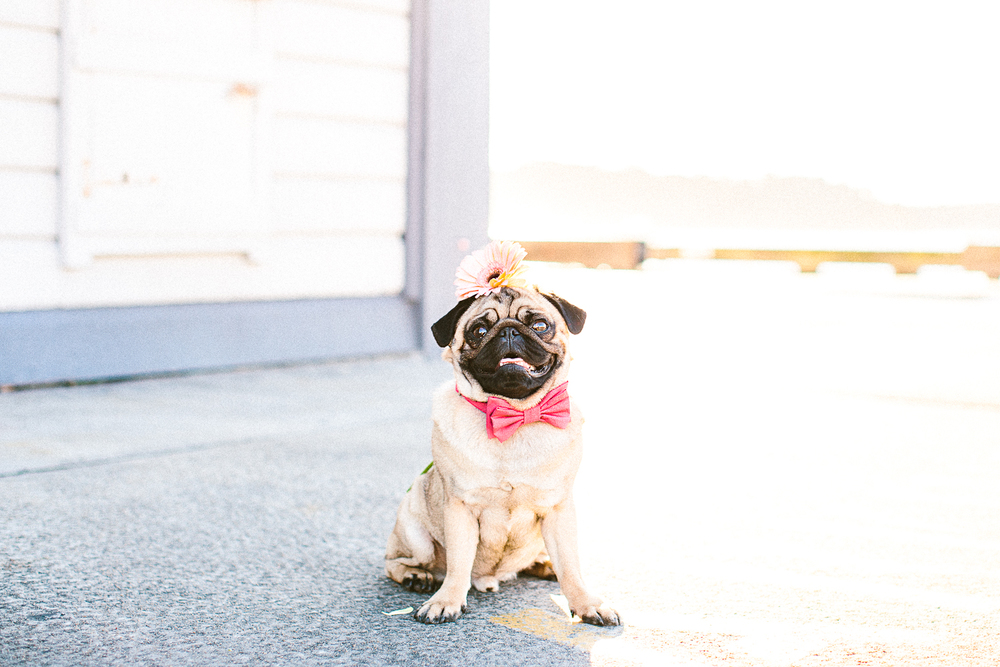 twoguineapigs_pet_photography_oh_jaffa_pug_wearing_bow_tie_collars_pink_design_pink_daisies_weddings