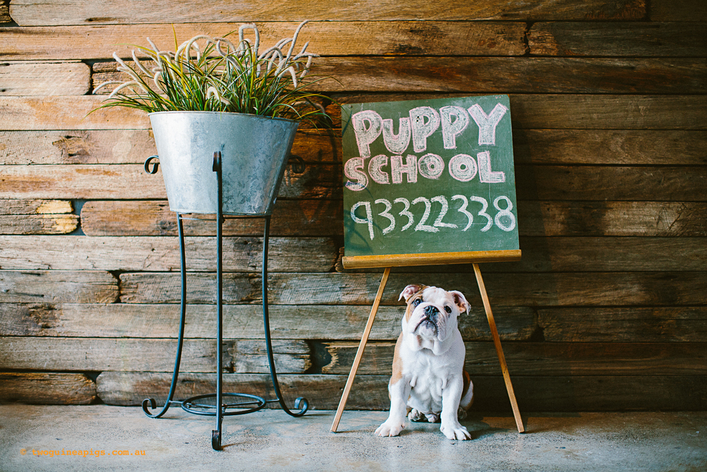 twoguineapigs_pet_photography_happy_paws_fitness_dog_puppy_school_1500.jpg