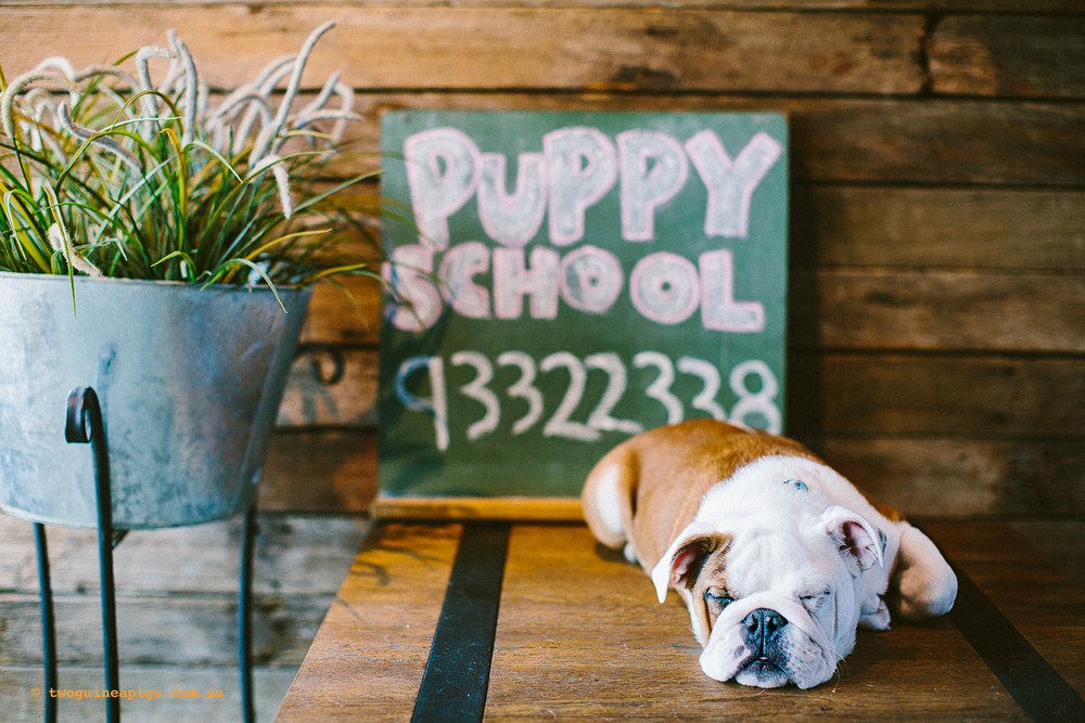 twoguineapigs_pet_photography_happy_paws_fitness_dog_puppy_school_1500-2.jpg