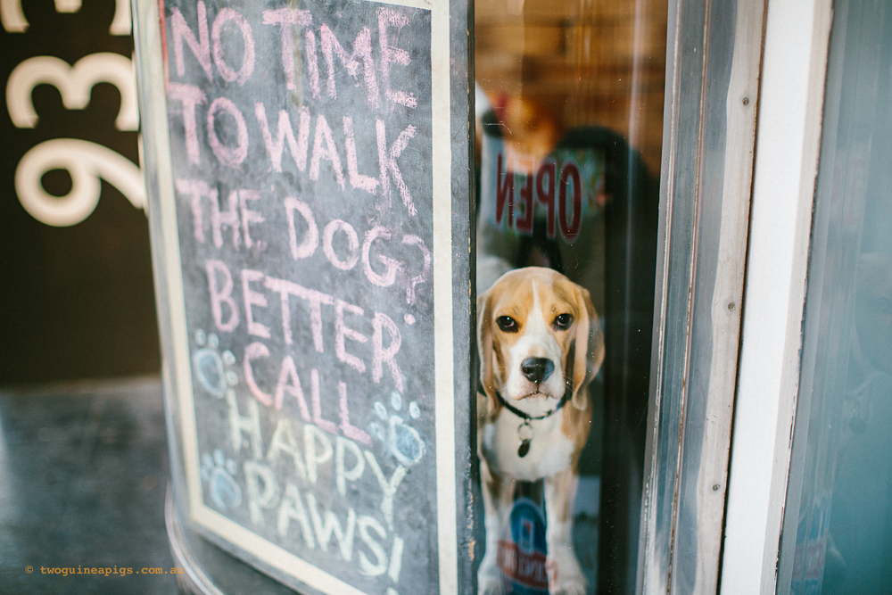 twoguineapigs_pet_photography_happy_paws_fitness_beagle_dog_walking_1500-2.jpg