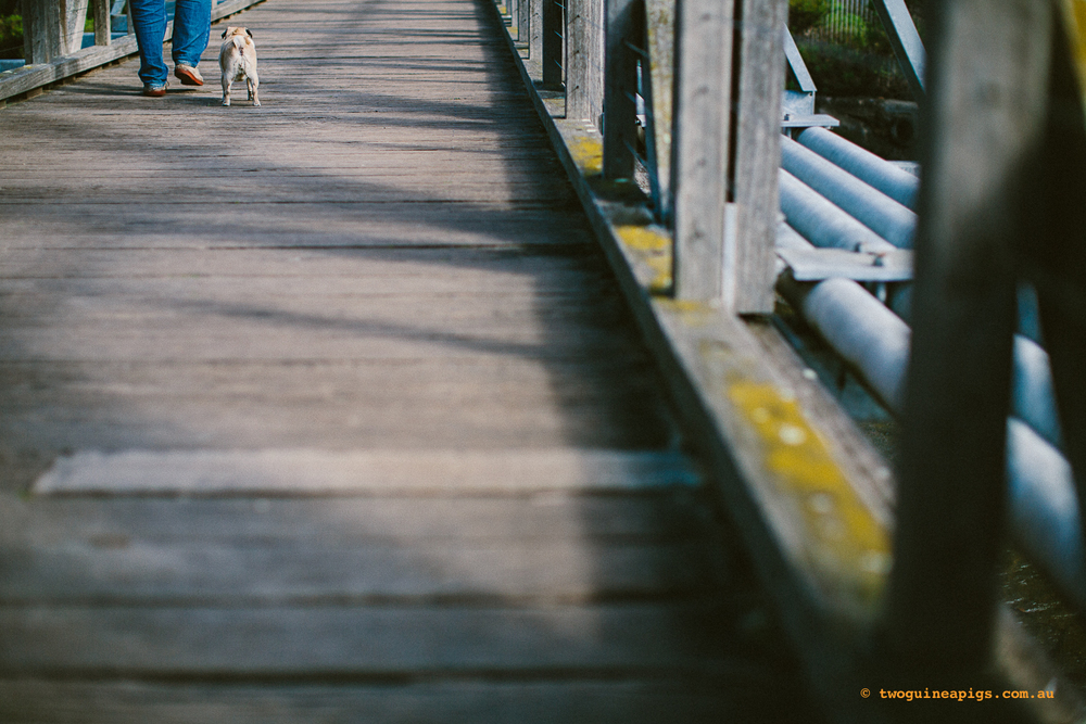 twoguineapigs_pug_footsteps_glebe_dog_photographer_1500.jpg
