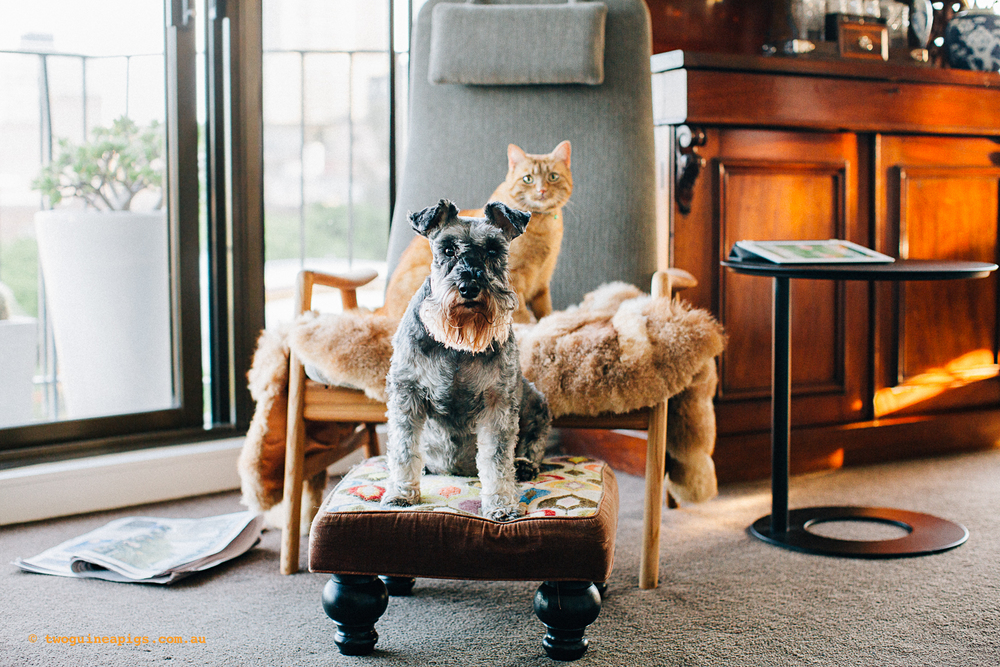 twoguinepaigs_pet_photography_neillie_schnauzer_annie_orange_cat_1500-12.jpg