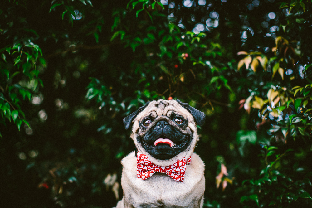 twoguineapigs_pet_photography_ohjaffa_bowtie_dog_collars_pug_pooch