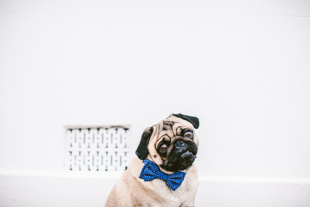 25_twoguineapigs_pet_photography_ohjaffa_vday_bowtie_collection_2015_1500.jpg