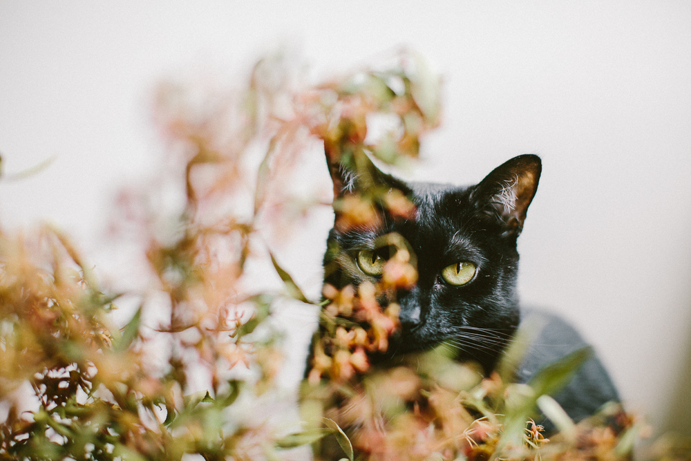 02_twoguineapigs_pet_photography_black_cats_bombay_cats_pf_christmas_bush_1500.jpg