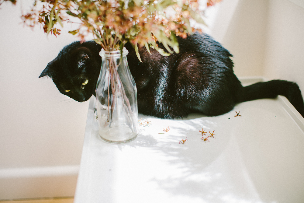 03_twoguineapigs_pet_photography_black_cats_bombay_cats_pf_christmas_bush_1500.jpg