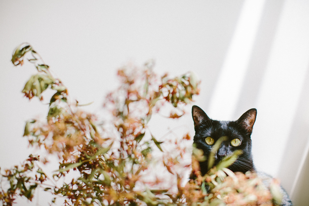 04_twoguineapigs_pet_photography_black_cats_bombay_cats_pf_christmas_bush_1500.jpg