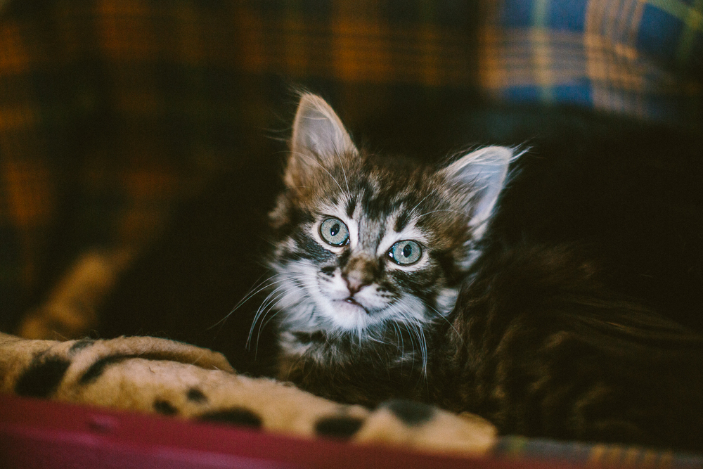 02_twoguineapigs_pet_photography_tiger_mainecoon_cat_1500.jpg