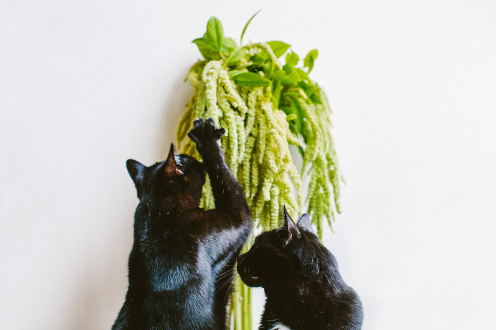 twoguineapigs_pet_photography_black_cats_amaranths_flowers_series_1500-04.jpg