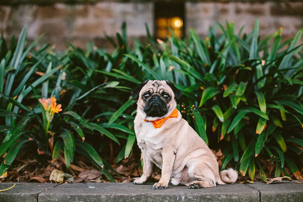 twoguineapigs_pet_photography_oh_jaffa_pugs_bow_ties_collars_ORANGE_1500-17.jpg