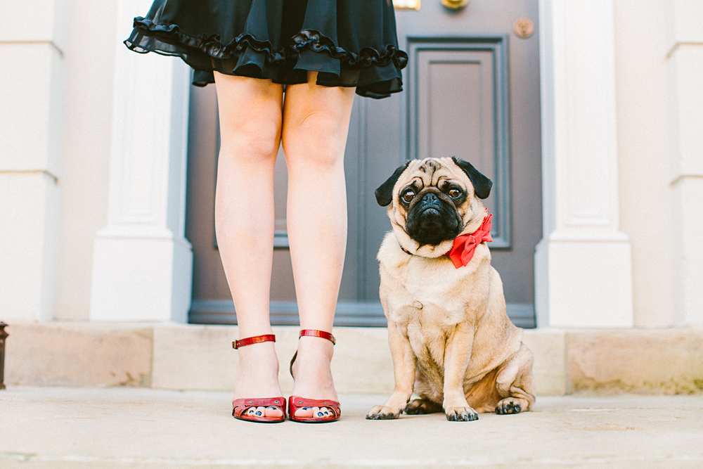 twoguineapigs_pet_photography_oh_jaffa_pugs_bow_ties_collars_RED_1500-9.jpg