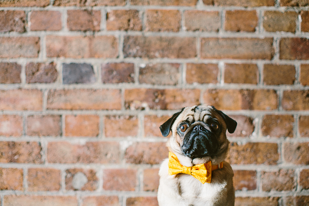 twoguineapigs_pet_photography_oh_jaffa_pugs_bow_ties_collars_YELLOW_1500-2.jpg