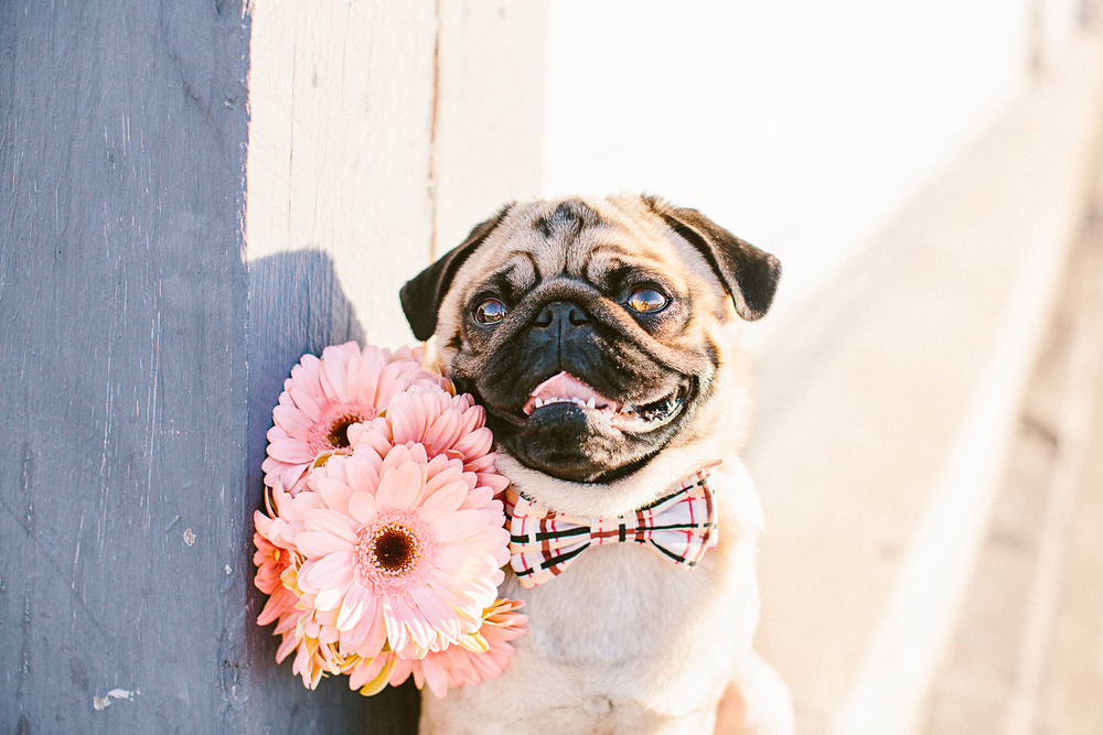 twoguineapigs_pet_photography_oh_jaffa_pugs_bow_ties_collars_BURBERRY_1500-23.jpg