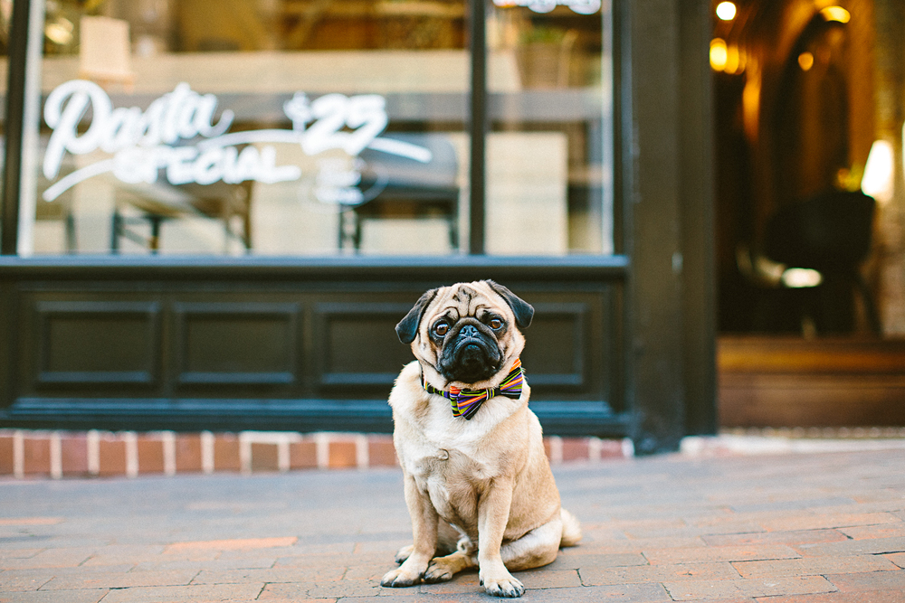 twoguineapigs_pet_photography_oh_jaffa_pugs_bow_ties_collars_COLORSTPS_1500-7.jpg