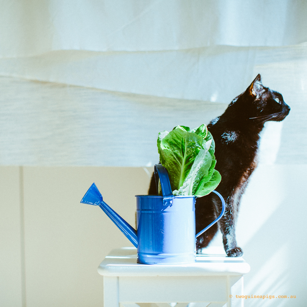 twoguineapigs_pet_photography_black_cats_lettuce_series