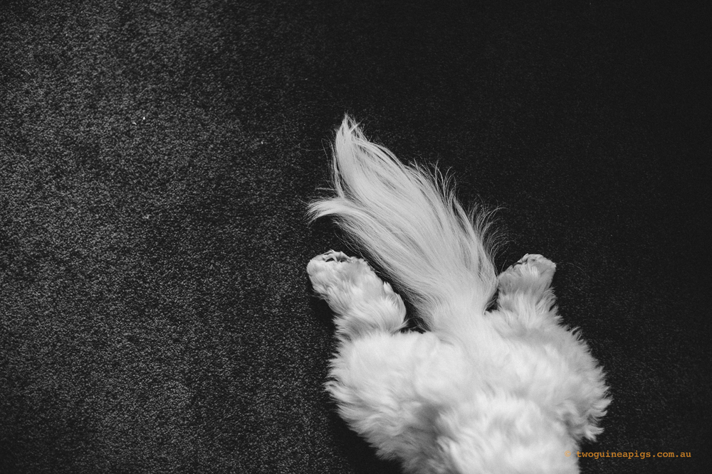 twoguineapigs_pet_photography_dalston_havanese_holiday_day1_dog
