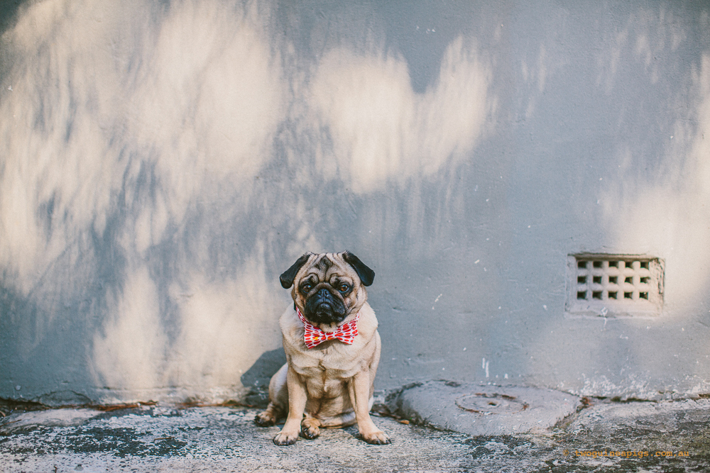 twoguineapigs_pet_photography_ohjaffa_pug_dog_animal_darlinghurst_bowtie
