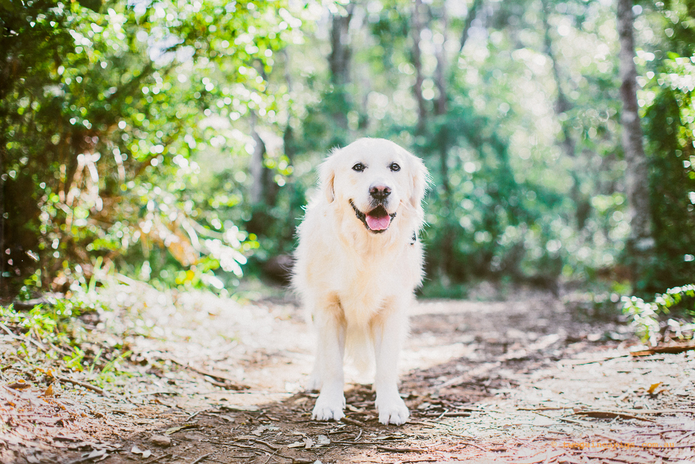 twoguineapigs_pet_photography_leo_golden_retriever_the_magic_forest