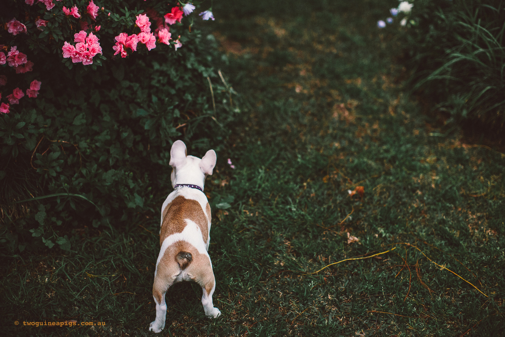 twoguineapigs_pet_photography_stella_french_bulldog_puppy_san_souci