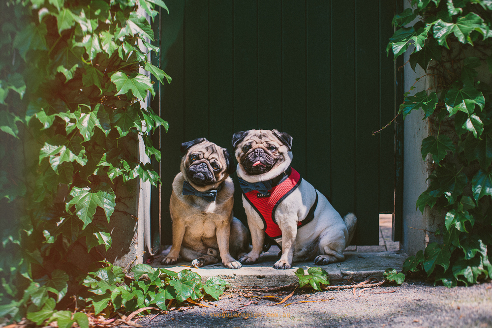 twoguineapigs pet photography jaffa the pug wearing oh jaffa denim bow tie darlinghurst