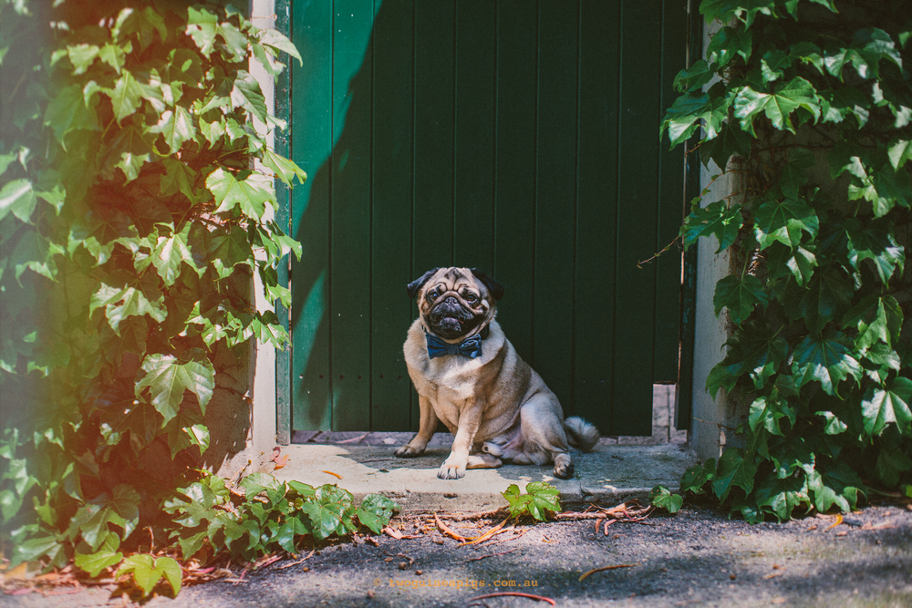 twoguineapigs_pet_photography_jaffa_pug_darlinghurst_spring_hang_1500-2.jpg