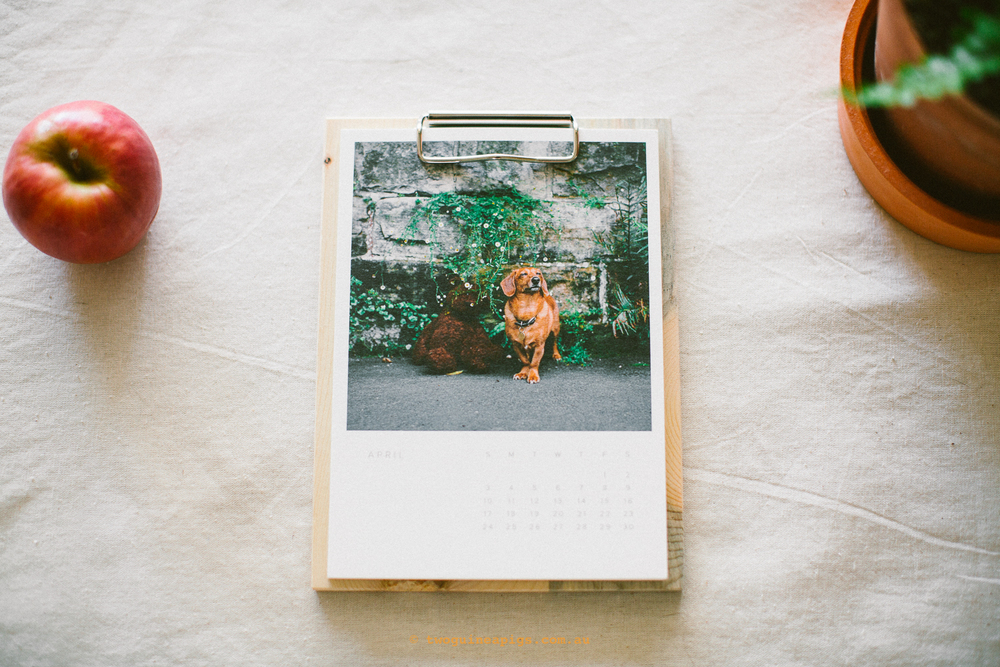 twoguineapigs_pet_photography_riley_sausage_dog_cross_christmas_gift_session_artifact_uprising_calendar