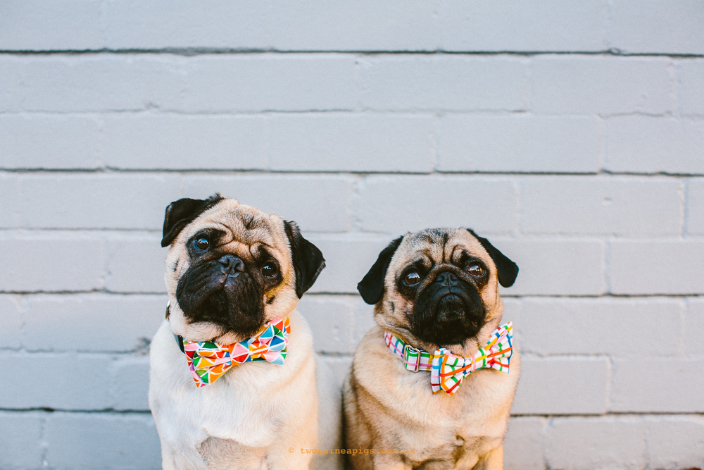 twoguineapigs_pet_photography_ohjaffa_2016_mardi_gras_rainbow_collection_pugs