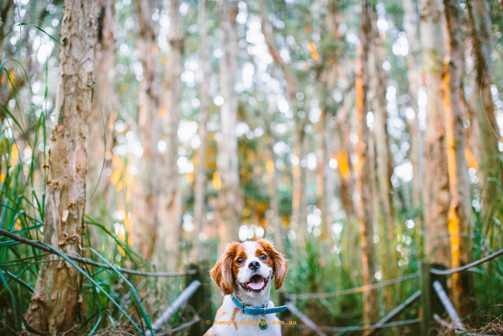 twoguineapigs_pet_photography_loki_beagle_cross_kings_charles_pets_and_people_dog_animal