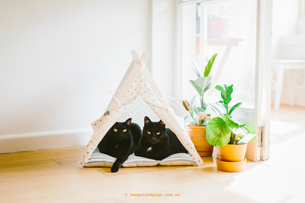 twoguineapigs_pet_photography_blackcats_mrbig_pf_dog_and_teepee_tent