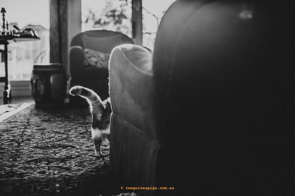 twoguineapigs_pet_photography_jkblackwell_poppy_jackrussell_iris_tabby_robinlow_kirribilli_1500-69.jpg