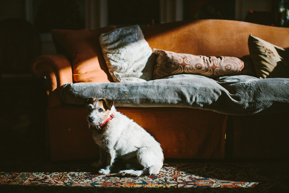 twoguineapigs_pet_photography_poppy_jackrussell_iris_tortoiseshell
