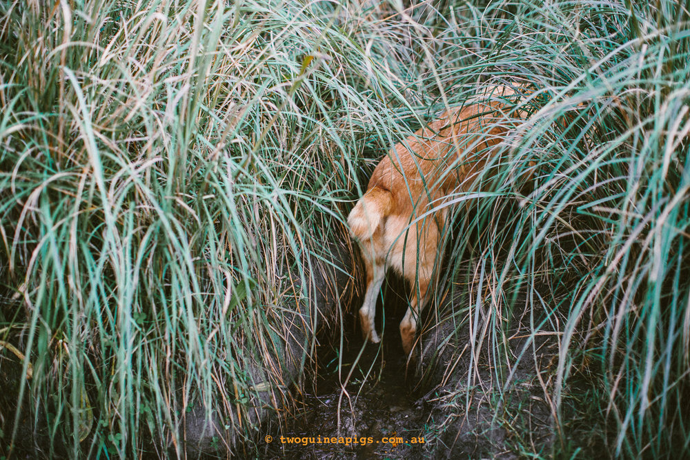 twoguineapigs_pet_photography_australian_cattle_dog_kelpie_dingo_dogs