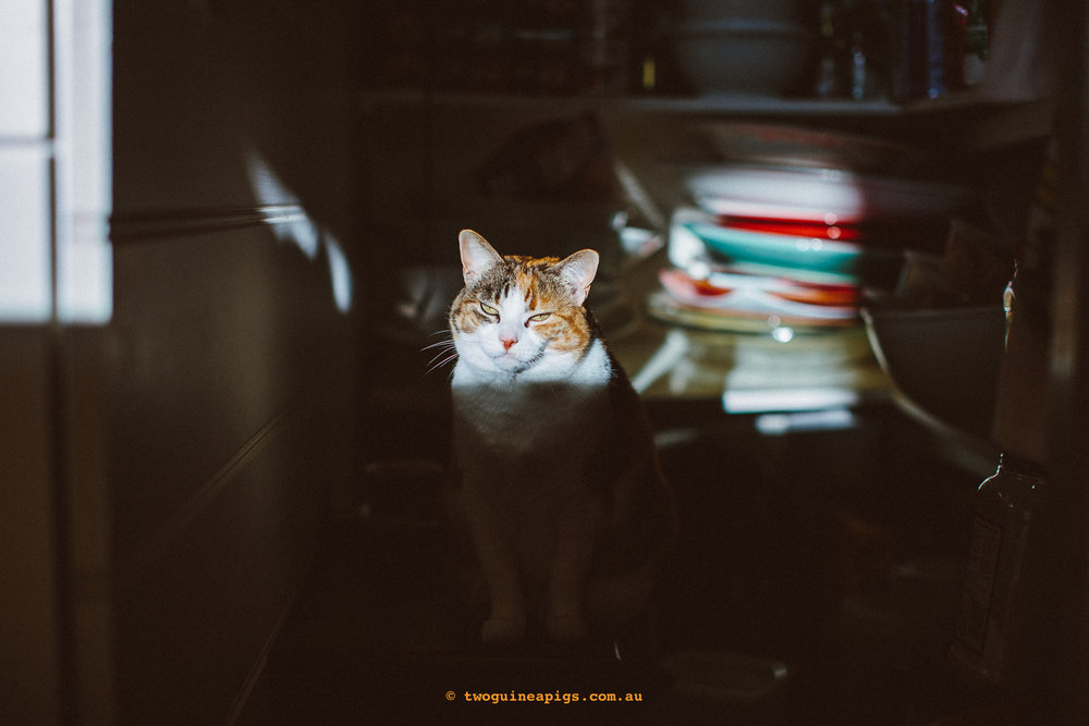 twoguineapigs_pet_photography_jkblackwell_poppy_jackrussell_iris_tabby_robinlow_kirribilli_1500-48.jpg