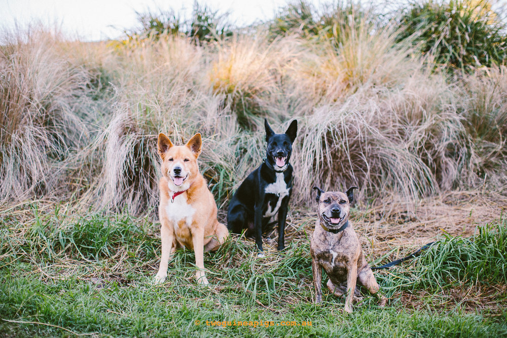 twoguineapigs_pet_photography_jkblackwell_emma_bonnie_scooby_trevor_anthony_acd_kelpie_stumpy_dingo_1500-89.jpg