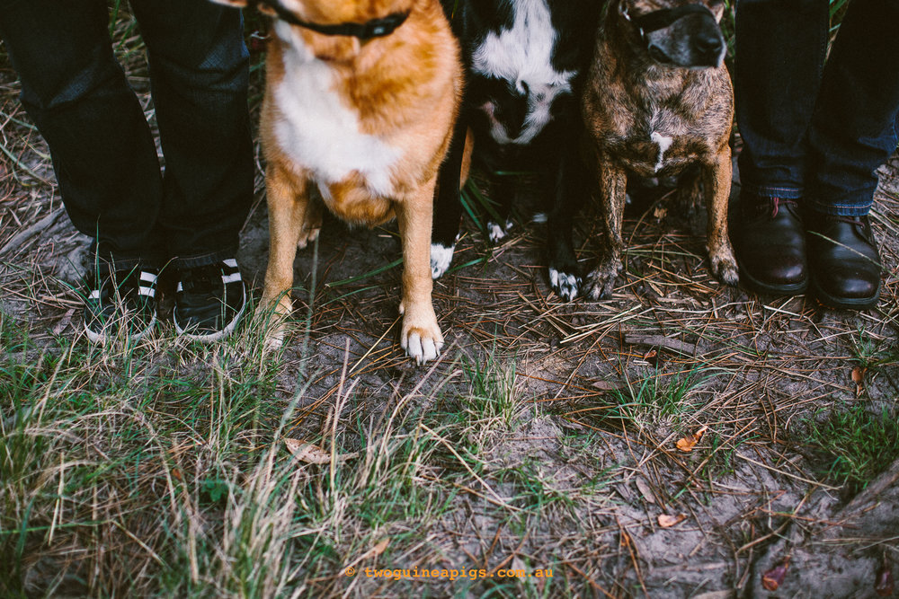 twoguineapigs_pet_photography_jkblackwell_emma_bonnie_scooby_trevor_anthony_acd_kelpie_stumpy_dingo_1500-123.jpg