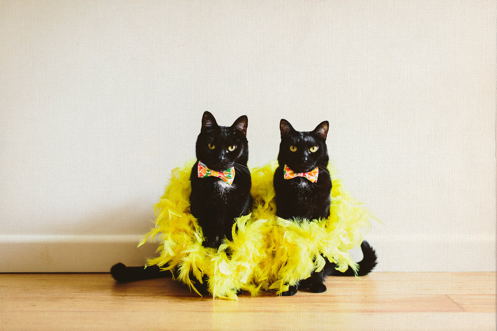 twoguineapigs_pet_photography_blackcats_dramaqueens_mardigras