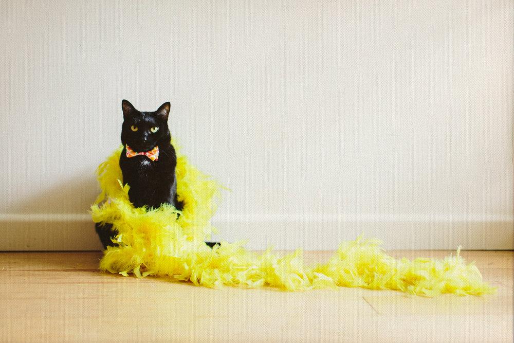 twoguineapigs_pet_photography_blackcats_dramaqueen_mardigras