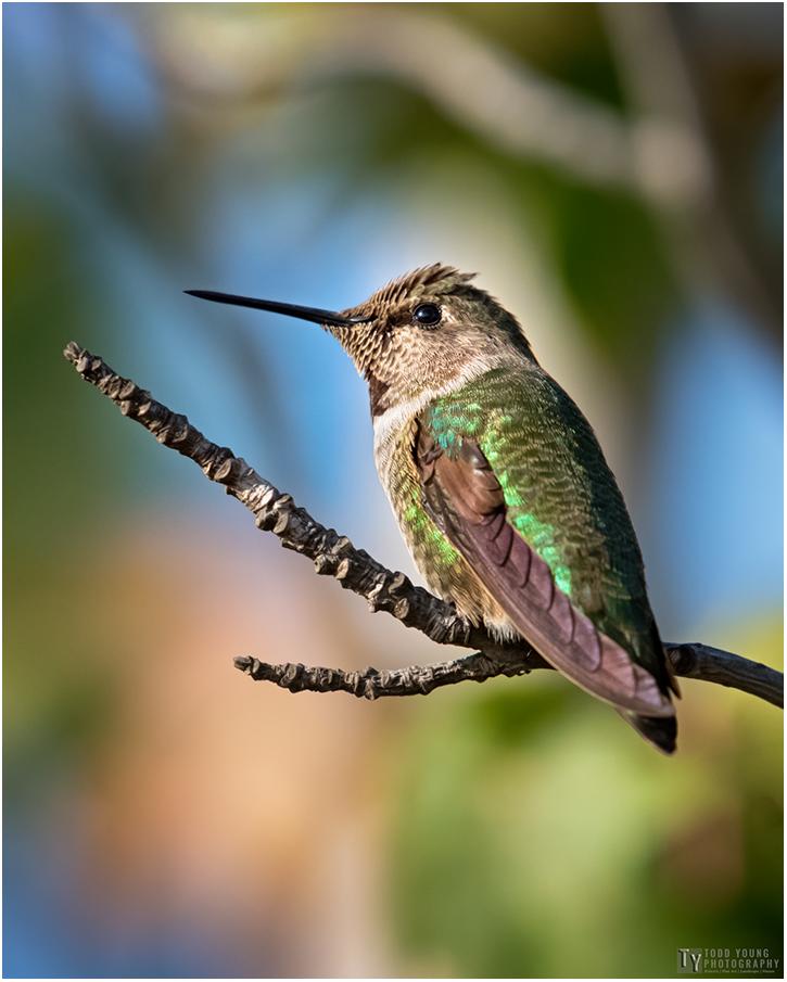 Hummingbird 16