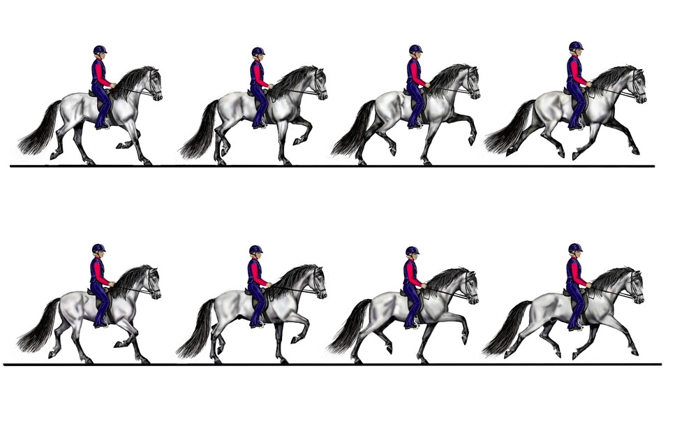 The gait sequence in trot - Drawing Susan Harris